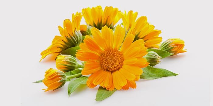 Цветы календулы для лечения геморроя