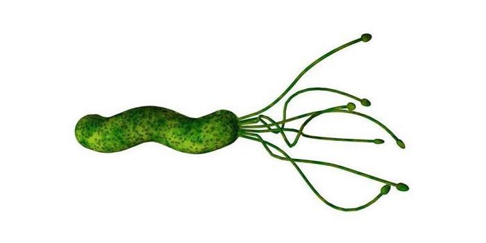 Бактерия Helicobacter Pylori под микроскопом