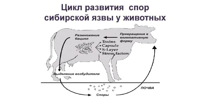 Цикл развития спор сибирской язвы у животных