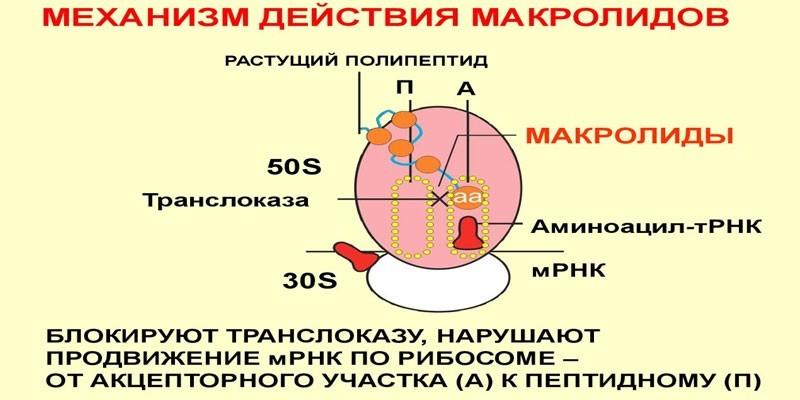 Механизм действия макролидов