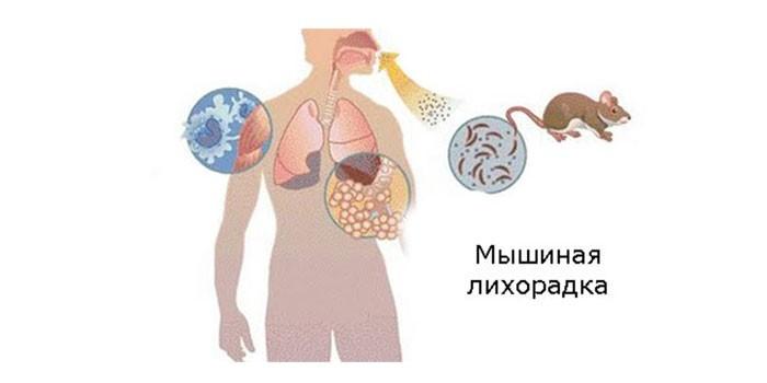 Органы мишени мышиной лихорадки