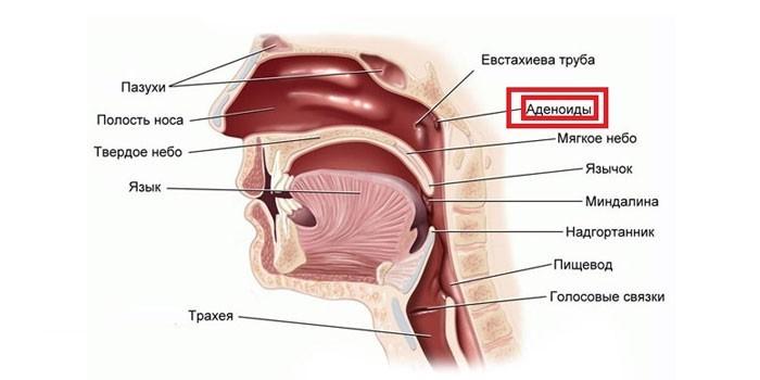 Расположение аденоид