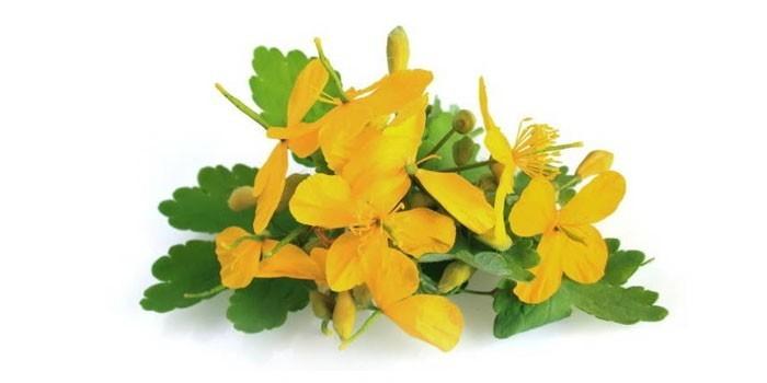 Цветы и листья чистотела