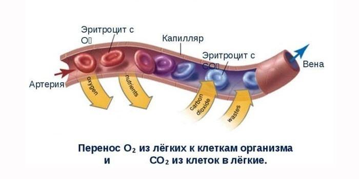 Перенос кислорода клетками крови