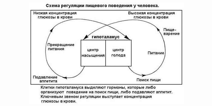 Схема регуляции пищевого поведения у человека