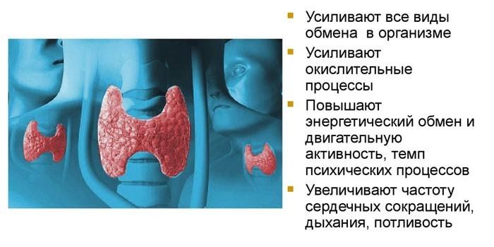 Функции тиреоидных гормонов