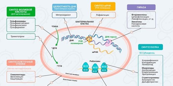 Принцип действия антибиотиков на клетку бактерии