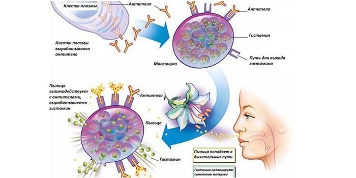 Механизм развития аллергической реакции