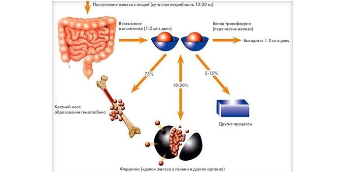 Функции ферритина