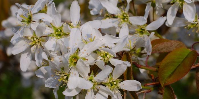Цветки ирги
