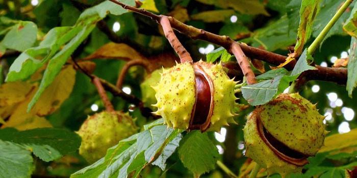Растение Конский каштан