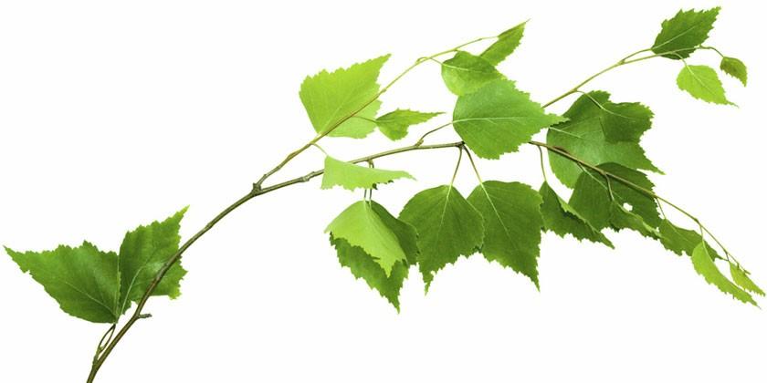 Березовая веточка с листьями