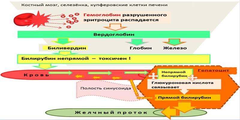 Схема распада гемоглобина