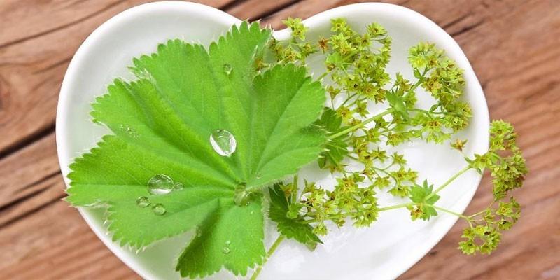 Лист и соцветья манжетки