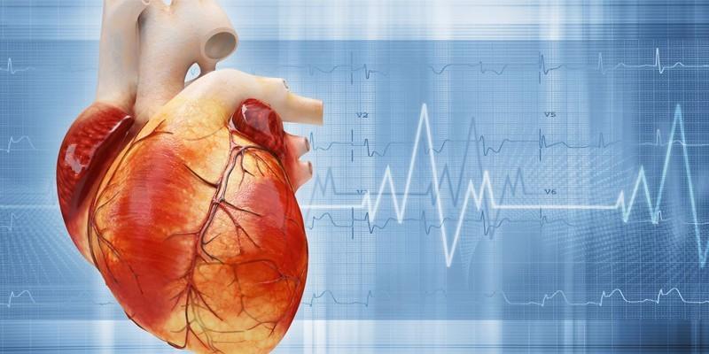 Сердце человека и кардиограмма