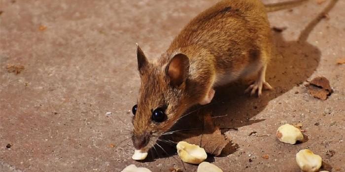 Мышь грызет орешки