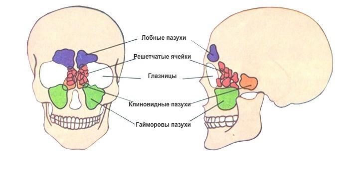 Анатомия пазух носа