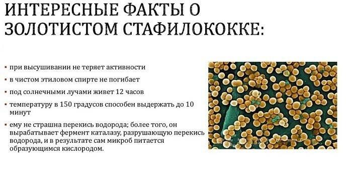 Что такое золотистый стафилококк
