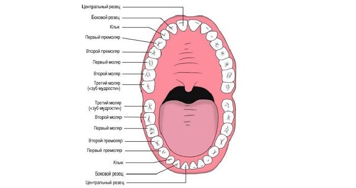 Строение и расположение зубного ряда