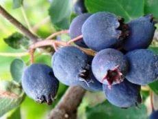 Ирга — полезные свойства и противопоказания, состав, рецепты народной медицины из листьев, ягод или коры