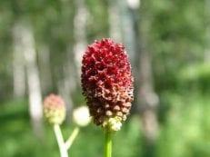 Кровохлебка лекарственная — полезные свойства травы и корневища, инструкция и показания по применению