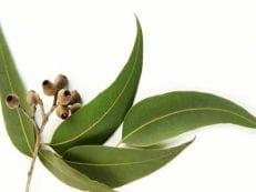 Настойка эвкалипта — как сделать в домашних условиях, лечебные свойства и противопоказания