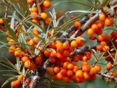 Облепиха — полезные свойства и противопоказания, применение масла, листьев и ягод