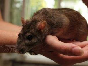 Первые признаки мышиной лихорадки у детей и взрослых - способы лечения