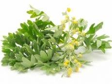 Полынь горькая: лечебные свойства и противопоказания травы