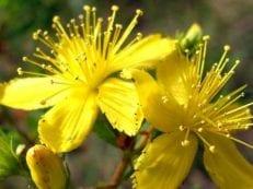 Трава зверобой — лечебные свойства и противопоказания, действие на организм
