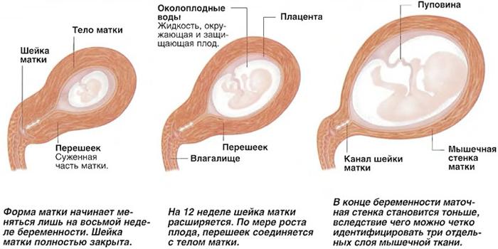 Изменение органа во время беременности