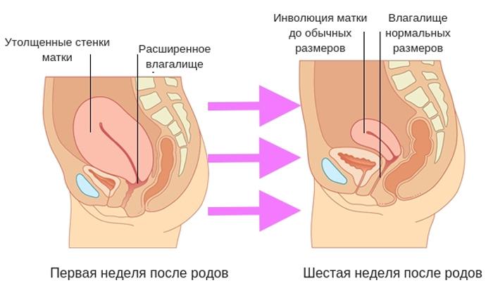 Процесс инволюции с первой до шестой недели