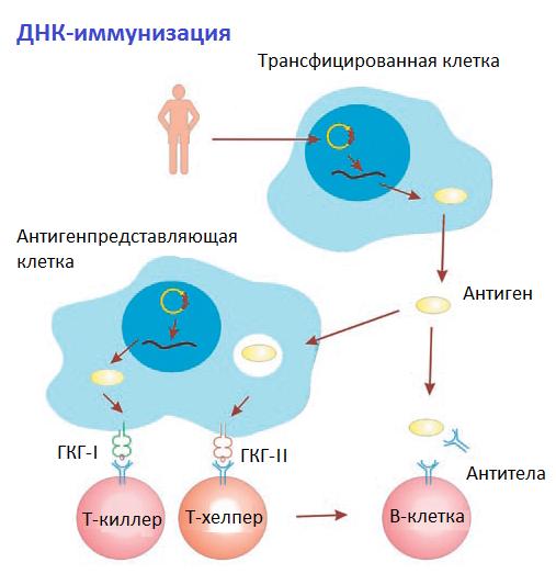 ДНК-иммунизация