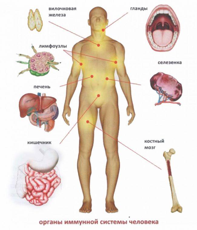 Органы иммунной системы на схеме