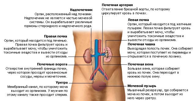 Как работает и устроена мочевыделительная система